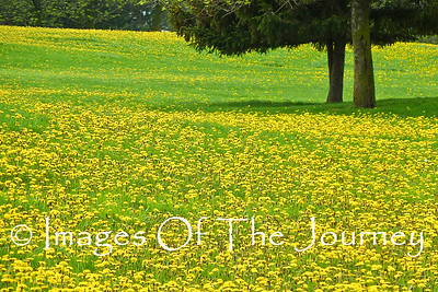 DANDELION REBELLION  I stopped for lunch in the park and found the grass overrun by cheerful yellow explosions of those rebel dandelions  Comrades, I'm sure of those that laugh at me from my suburban lawn.  Later in a shift of time they will have matured (some say gone to seed) so that the wind can take their wisdom and sow rebellion in other conformist lawns * *  * * *  * ;  © David Cale