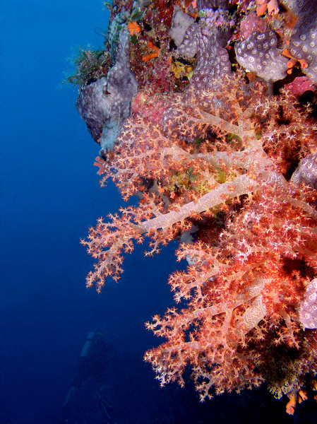 A pastel colored soft coral at Areu Wall, Pohnpei.