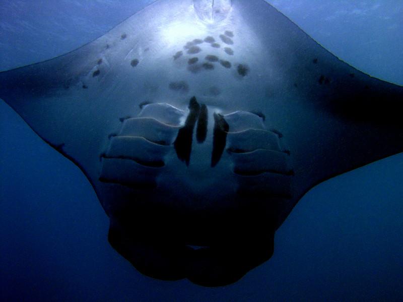 A manta ray (Manta birostris) at Manta Road, Pohnpei.