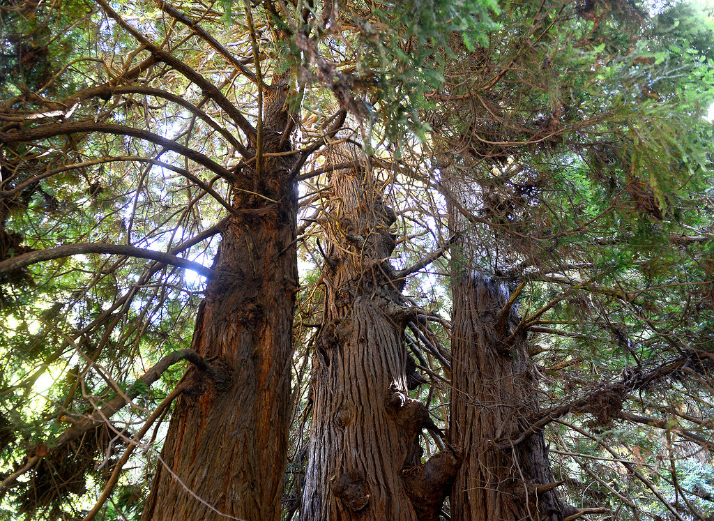 . A redwood tree grove on the Point Lobos Ranch property on Wednesday, September 12, 2018.  (Vern Fisher - Monterey Herald)