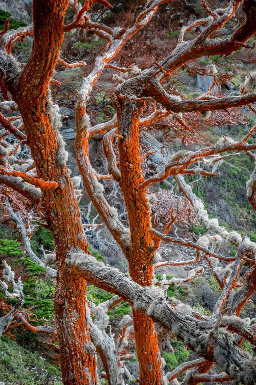 Trentepohlia on Cypress Trees