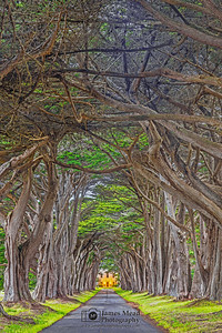 """Criss-Crossed,"" Cypress Tree Tunnel during twilight, Point Reyes National Seashore, California"
