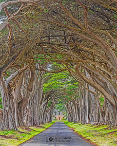 """Wicker Basket,"" Cypress Tree Tunnel at Sunset, Point Reyes National Seashore, California"