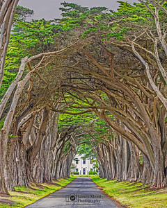 """Braided,"" Cypress Tree Tunnel at Sunset, Point Reyes National Seashore, California"