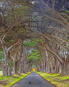 """Woven,"" Cypress Tree Tunnel during twilight, Point Reyes National Seashore, California"