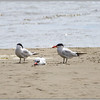 Terns, Bodega Bay