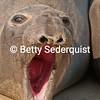 Belligerent Elephant Seal