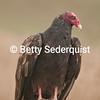 Vulture on Fencepost