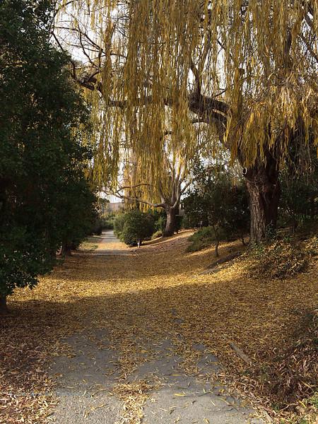 Yellow Leaves in San Rafael