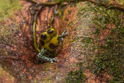 The mimic poison frog (Ranitomeya imitator), a male emerges from a tree hole and calls to defend his territory.  From Northern Peru.