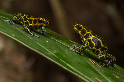 The mimic poison frog (Ranitomeya imitator), the only known frog species known to be genetically monogamous.  The male (left) approaches the larger female (right).
