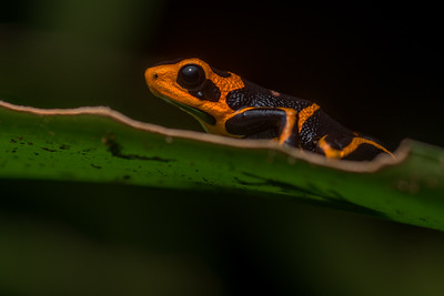 Orange phase mimic poison frog (Ranitomeya imitator)