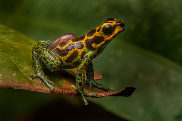 The mimic poison frog (Ranitomeya imitator), a male carries his tadpole on his back. He will place the tadpole alone in a small pool of water and revisit to see if it is hungry. When the tadpole signals hunger he will go find the female and bring her back to lay an unfertilized egg for the tadpole to feed on.