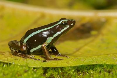 Anthony's poison frog (Epipedobates anthonyi) from the El Oro Province of Ecuador.