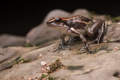 The Los Tayos rocket frog (Hyloxalus nexipus), a species which can be quite common in riparian habitat of Peru on the Eastern side of the Andes.