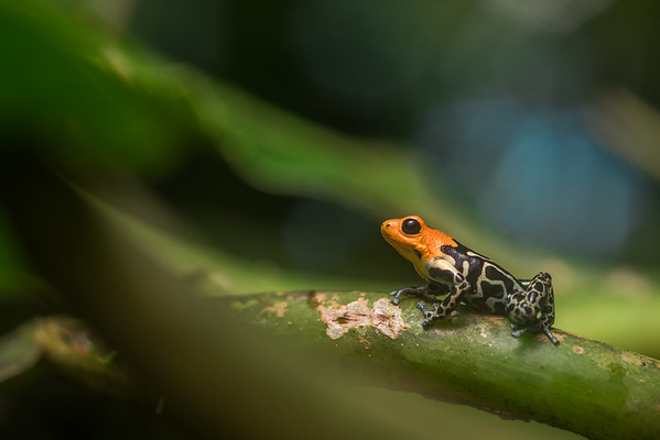 A red headed poison frog (Ranitomeya fantastica), the highland morph which spends much of its time in the trees. From Northern Peru.