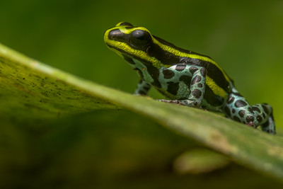 The sira poison frog (Ranitomeya sirensis), photographed in a remote portion of Peru.