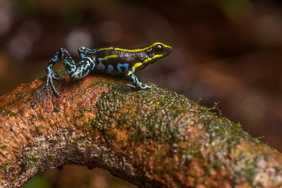 The sky blue poison frog (Hyloxalus azureiventris) a secretive and endemic poison frog from Peru.  It is considered to be endangered and is only known from a narrow mountain gradient.
