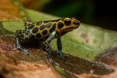 A mimic poison frog (Ranitomeya imitator), a male guarding his territory.