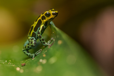 A variable poison frog (Ranitomeya variabilis) from northern Peru.