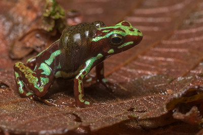 A male Anthony's poison frog (Epipedobates anthonyi) carrying his tadpoles on his back.