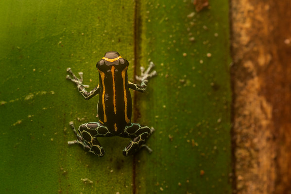 Ranitomeya toraro, the most recently described of the thumbnail poison frogs.  From Southern Colombia.