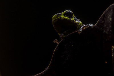 The mimic poison frog (Ranitomeya imitator), they spend much of their time climbing vegetation.