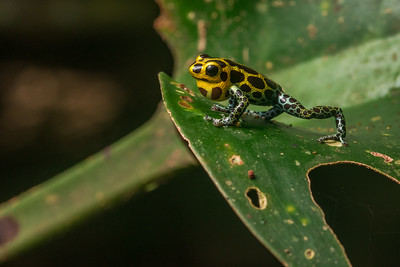 The mimic poison frog (Ranitomeya imitator), a male calls to defend his territory.  From Northern Peru.