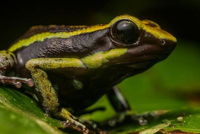 Bassler's poison frog (Ameerega bassleri) endemic to Northern Peru.