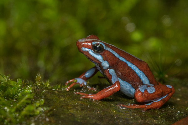 A stunningly beautiful morph of Anthony's poison frog (Epipedobates anthonyi) from Southern Ecuador.