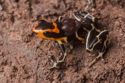 A male red headed poison frog (Ranitomeya fantastica) transports a pair of tadpoles on his back.