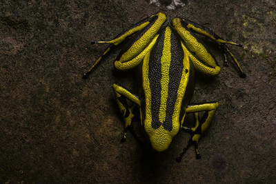 The aptly named three striped poison frog (Ameerega trivittata) is one of the largest poison frogs and has one of the largest distributions from Colombia to Bolivia.