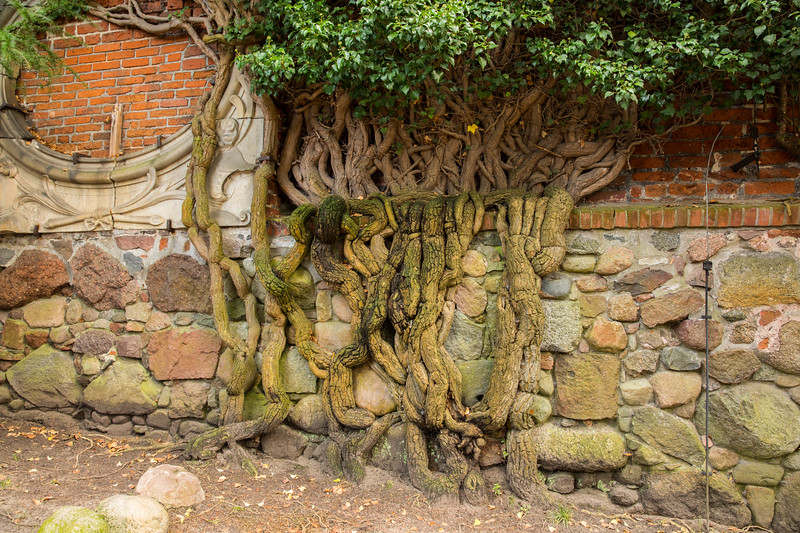 Vines on Malbork Castle, Poland