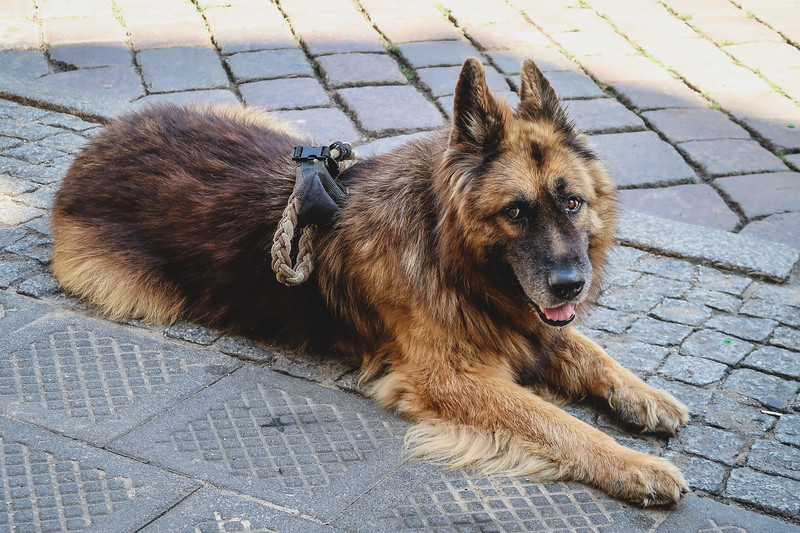 Trying to befriend a long-haired German Shepherd in Poznan.