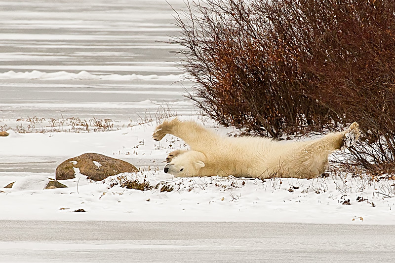 The Polar bear stretch
