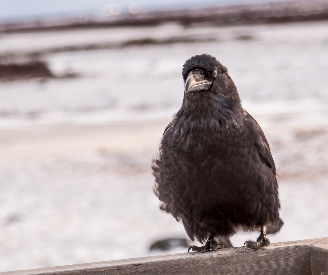 Inqjuisitive Raven