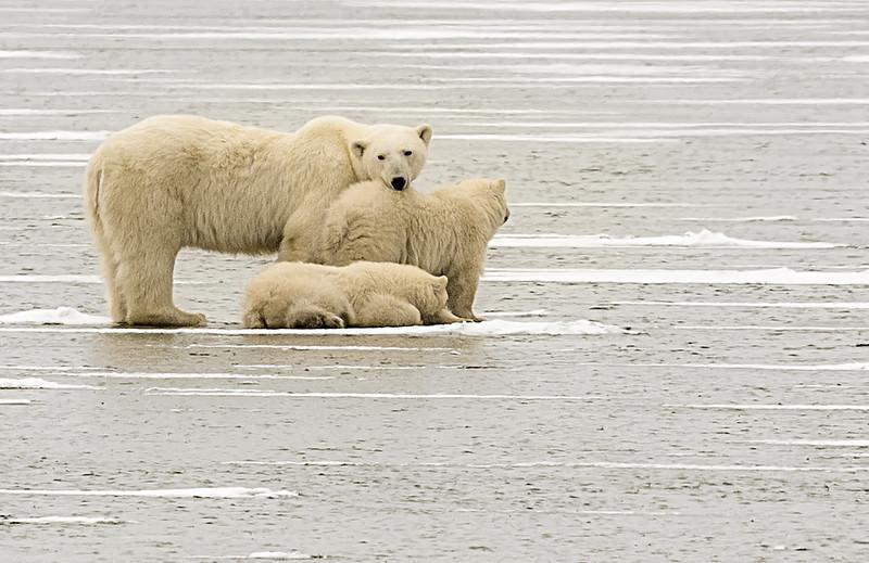 Polar bear mom with her cubs