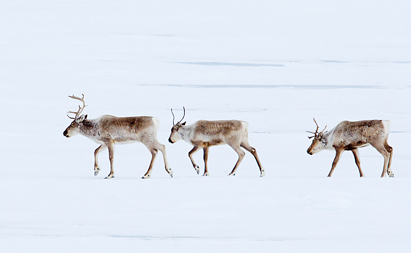 Caribou Trudging Through Winter