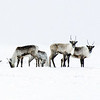 Caribou in Snow Storm