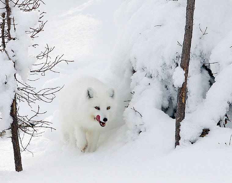 Arctic Fox Tongue Out