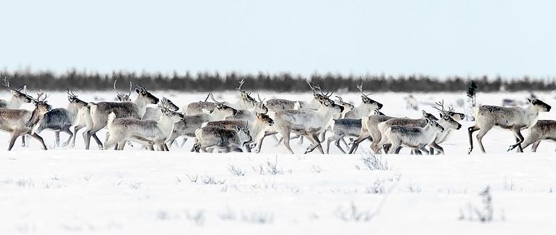 Caribou Herd Running