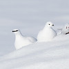 Rock Ptarmigan Pair