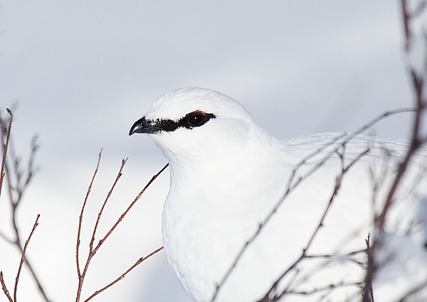 Rock Ptarmigan Male