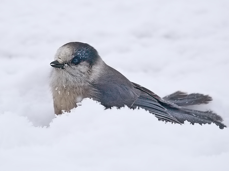 Gray Jay in the Snow