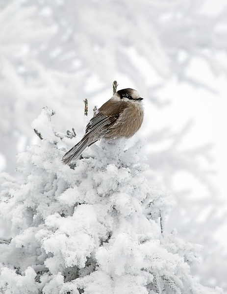 Gray Jay Perched on Snowy Pine Tree