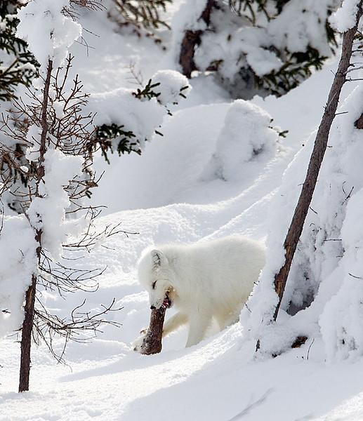 Arctic Fox Eating a Caribou Leg