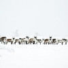Caribou Not Easy in Winter