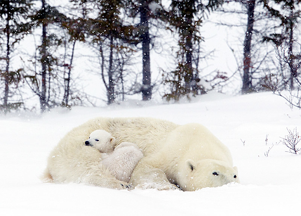 Polar Bear and Two Cubs