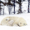 Polar Bear and Two Cubs