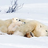 Polar bears usually have two cubs which will stay with mom for three years